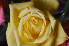 DSC_2784 (PeaTJay) Tags: nikond750 sigma reading lowerearley berkshire macro micro closeups gardens indoors nature flora fauna plants flowers rose roses rosebuds