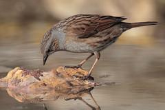Passera scopaiola (Marcello Giardinazzo) Tags: passerascopaiola prunellamodularis natura bird avifauna uccelli