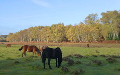 New Forest NP, Hampshire, UK (east med wanderer) Tags: england hampshire uk newforestnationalpark nationalpark ponies heathland woodland silverbirches heather grass