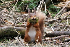 Red Squirrel (eric robb niven) Tags: eric robb niven springwatch dundee wildlife nature scotland natureinfocusgroup