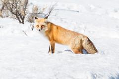 Yellowstone Red Fox (Thomas Franta) Tags: 70d fox wildlife winter lamarvalley nature nationalpark ynp ef100400lii redfox yellowstone yellowstonenationalpark eos70d snow wyoming unitedstatesofamerica us