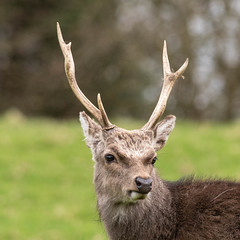 DSC_7555.jpg (dan.bailey1000) Tags: cork ireland wildlife donerailepark sika deer