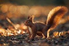 Eichhörnchen (generalstussner) Tags: eichhörnchen redsquirrel squirrel sciurusvulgaris hörnchen baumhörnchen morgenlicht sunrise sonnenaufgang wildlife animal beautifullight cute canon bokeh