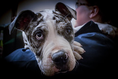 Misty (Alasdaircrawford) Tags: pup puppy pupper staffie staffordshire staffy dog doggo canine english bulldog bull cute young new aww alapaha blue blood