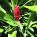 Jamaica -  Ocho Rios: one of the colorful flowers in the tropical rainforest
