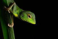 Common Green Forest Lizard - Calotes calotes (Jono Dashper Wildlife) Tags: common green lizard calotescalotes ella srilanka forest calotes herp reptile animal wild wildlife nature canon 5diii 2018 jonodashper jonathondashper