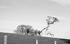 the non-conformist (Riex) Tags: oak tree arbre pâturage pasture meadow fence barriere paysage landscape champ pré field woodside california californie kodak portra iso160 zeiss ikon ernstleitzwetzlar leica elmarit 90mm f28 rangefinder mmount zmmount film monochrome bw blackandwhite noiretblanc