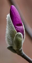 Bloom 2019 (emeagen) Tags: d500 nikon ohio cincinnati macro magnolia