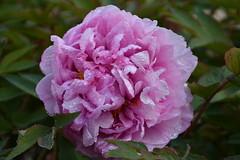 DSC_5650 (griecocathy) Tags: macro plante pivoine feuille gouttelette eau étamines rose vert blanc jaune