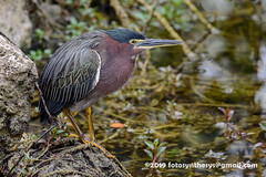Eastern Green Heron (Butorides virescens virescens), adult DSD_7114 (fotosynthesys) Tags: easterngreenheron butoridesvirescensvirescens greenheron butoridesvirescens heron ardeidae bird bigcypress florida