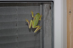 Climbing Frog. (dccradio) Tags: lumberton nc northcarolina robesoncounty outdoor outdoors outside wildlife animal frog toad nature natural window april spring springtime wednesday wednesdaynight night evening treefrog nikon d40 dslr screen