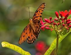 Jatropha Close-Up (ACEZandEIGHTZ) Tags: jatropha nature bokeh nikon d3200 wings orange gulf fritillary butterfly macro closeup flying insect agraulis vanillae