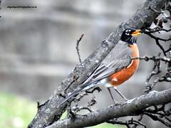 DSCN6558 American Robin (Turdus migratorius) (vlupadya) Tags: greatnature animal bird aves american turdus robin fauna baskingridge newjersey usa