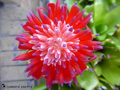 Mother's Bromeliad (camerapoetry) Tags: nature plants bromeliad exotic homegrown