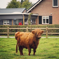 weekendje Uden - Sept 2018 (Kristel Van Loock) Tags: bizon wisent bison animal europesebizon uden visituden nederland thenetherlands visitthenetherlands visitnederland paesibassi lespaysbas paysbas olanda niederlande lospaísesbajos paísesbaixos paísesbajos noordbrabant brabantseptentrional weekendjenederland weekendjeweg animaux dier fauna