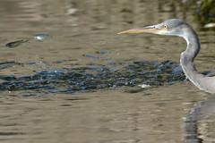 Western Reef Heron Bird @ Khor Kalba, Sharjah, UAE (Ma3eN) Tags: western reef heron bird khorkalba kalba sharjah uae 2019