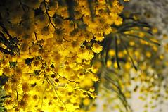 Prémices du printemps (Evim@ge) Tags: fleur mimosa lumière jaune flower printemps yellow light lumineux lighty spring bouquet