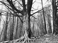 (Bárbara L.F.) Tags: forest trees arbres árboles bosque bosc catalunya santafedelmontseny elmontseny