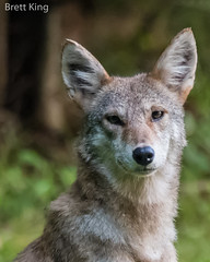 Cades Cove Coyote- Portrait (dbking2162) Tags: wildlife nature nationalgeographic explore coyote greatsmokymountainnationalpark smokys tennessee animal nationalparks portrait