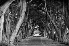Cypress Lane (Alan McIntosh Photography) Tags: trees mornington monochrome cypress lane tranquil black white