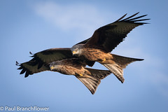 Red Kites (pjbranchflower) Tags: red kites raptor birds wales brecon beacons