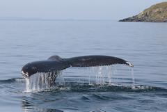 Trinity Humpback (peterkelly) Tags: digital canon 6d northamerica canada newfoundlandlabrador trinitybay water fluke tail whale humpbackwhale