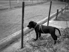 "Paseando a ""casimiro"", en sus primeros meses (Juan Antonio Xic Eseyosoyese) Tags: perro amigo negro casimiro cachorro paseo recuerdo 2015 mascota mexico labrador retriever niño meses lugar polvorin"