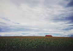 Hidden barn (jessalynn_sammons) Tags: iphone agriculture candianfarm field corn barn countryside