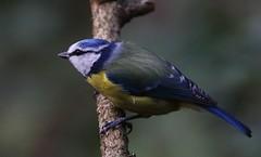 Blue Tit - Upton CP Dorset -140119 (1) (Ann Collier Wildlife & General Photographer) Tags: bluetit uptoncountrypark pooleharbour poole dorset dorsetwildlife birds bird wildlife