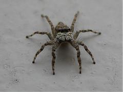 Araña saltadora (fam. Salticidae) (Santiago Bullard C.) Tags: jumpingspider salticidae arañasaltadora araña arachnida arácnidosdelperú bug araneae