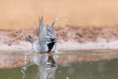 Black-throated Sparrow makes a splash (tspine) Tags: blackthroatedsparrow santaclararanch texas