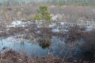 Little Tree at the Cranberry Bogs