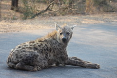 Spotted Hyena (Rckr88) Tags: krugernationalpark southafrica kruger national park south africa spotted hyena spottedhyena spottedhyenas hyenas animal animals road roads nature naturalworld outdoors wildlife