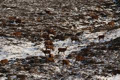 IMG_5281 (monika.carrie) Tags: reddeer monikacarrie wildlife scotland aberdeenshire royaldeeside