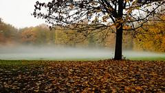 early morning (tvdijk19) Tags: mapleleaf esdoornblad fuji oldxt1 nature natuur park tree cold early morning fog flevoland netherlands layers 13e mist teunvandijk