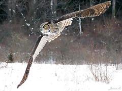 Oliver Great Horned Owl CRC IMG_2655 (Jennz World) Tags: ©jennifermlivick canadianraptorconservancy vittoria ontario canada greathornedowl owl bird raptor snow winter