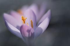 premier instant (christophe.laigle) Tags: christophelaigle fleur macro nature flower fuji mauve xpro2 xf60mm purple