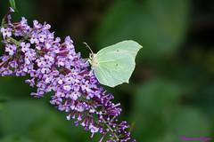 Le Papillon Citron (Gonepteryx rhamni) (Ezzo33) Tags: france gironde nouvelleaquitaine bordeaux ezzo33 nammour ezzat sony rx10m3 parc jardin papillon papillons butterfly butterflies specanimal lepapilloncitron gonepteryxrhamni