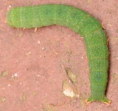 red-line Panopoda caterpillar (ophis) Tags: lepidoptera erebidae eulepidotinae panopodini panopoda panopodarufimargo redlinedpanopoda caterpillar
