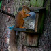 Red Squirrels at Rannoch 2017 - 3076.jpg