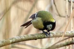 """""""For what we are about to receive..."""" (Wildlife Terry) Tags: rspbleightonmoss silverdale lancashire february 2019 winter201819 arnside aonb naturereserve reedbeds marsh pools hides causeway great tits"""