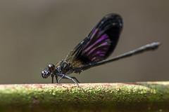 Euphaea variegata (Gabor's dragonflies and damselflies) Tags: anisoptera asia calopterygidae damselfly dragonfly euphaeavariegata indonesia java madakaripura odonata szitakötő zygoptera egyenetlenszárnyú nagyszitakötő szitakötők ázsia lumbang jawatimur id nature wild insect