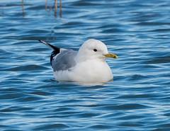 Riverside 05.03.19 Common gull