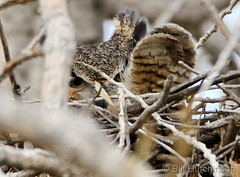 February 14, 2019 - A great horned owl stays well hidden.  (Bill Hutchinson)