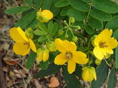 Tiny flowers with a big impact. (Trinimusic2008 -blessings) Tags: trinimusic2008 judymeikle nature flowers yellow sooc usa hawaii honolulu travelmemories vacation random peggyandted sonydschx80