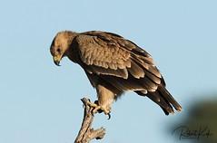 Balancing! (Jambo53 ()) Tags: tawnyeagle copyrightrobertkok kgalagadi birdofprey raptor roofvogel