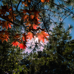 A touch of colors (longtnguyen) Tags: dalat vietnam travel maple mapleleaf nature
