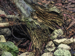Split Ends (Steve Taylor (Photography)) Tags: split digitalart brown green stone rock newzealand nz southisland canterbury christchurch roots tree trunk texture