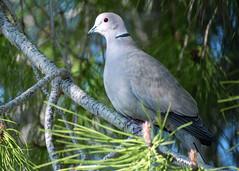 tourterelle perchée pour la pose (guy dhotel) Tags: oiseau bird tourterelle mimosa 4 saisons