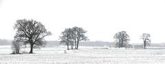 guardians of the landscape (HansHolt) Tags: guardians winter landscape landschap panorama snow sneeuw tree trees boom bomen farm boerderij mist fog highkey blackandwhite monochrome bw fluitenberg drenthe netherlands canon 6d canoneos6d canonef24105mmf4lisusm aoi elitegalleryaoi bestcapturesaoi